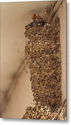 Barn Swallow Nest Metal Print by Neil Bowman/FLPA