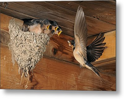 Barn Swallows At Nest Metal Print by Scott  Linstead