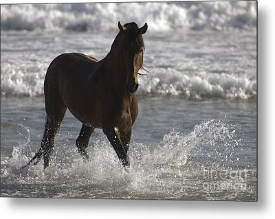Bay Andalusian Stallion In The Surf Metal Print by Carol Walker