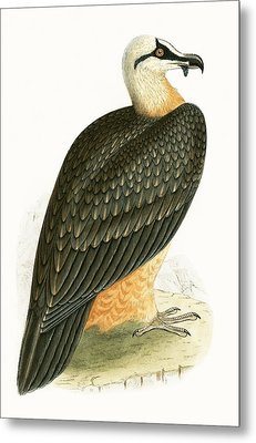 Bearded Vulture Metal Print by English School