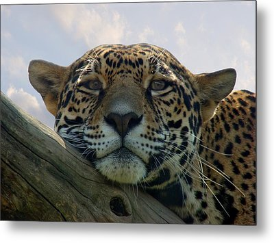 Beautiful Jaguar Metal Print by Sandy Keeton