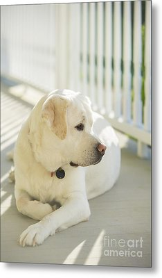 Beautiful Labrador Retriever  Metal Print by Diane Diederich