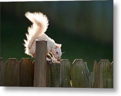 Beautiful White Squirrel Metal Print by Randall Branham