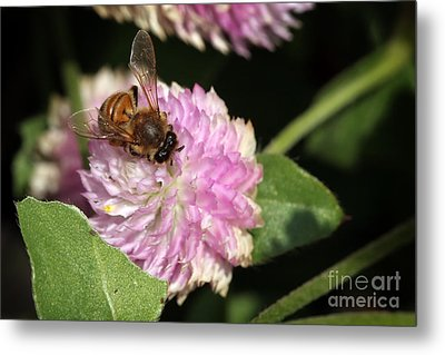 Bee On Gomphrena Metal Print by Jeannie Burleson