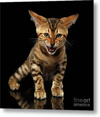 Bengal Kitty Stands And Hissing On Black Metal Print by Sergey Taran