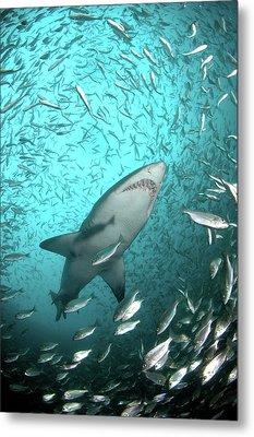 Big Raggie Swims Through Baitfish Shoal Metal Print by Jean Tresfon