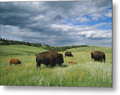 Bison And Their Calves Graze In Custer Metal Print by Annie Griffiths