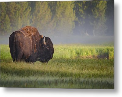 Bison In Morning Light Metal Print by Sandipan Biswas