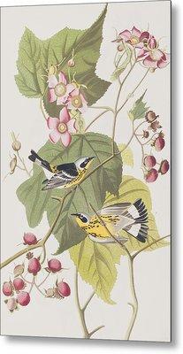 Black And Yellow Warblers Metal Print by John James Audubon