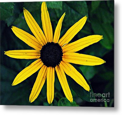 Black-eyed Susan Metal Print by Sarah Loft