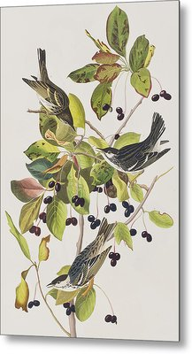 Black Poll Warbler Metal Print by John James Audubon