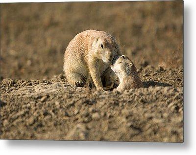 Black-tailed Prairie Dogs In Eastern Metal Print by Joel Sartore