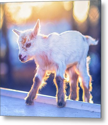 Little Baby Goat Sunset Metal Print by TC Morgan