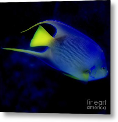 Blue And Yellow Fish Metal Print by Kathleen Struckle