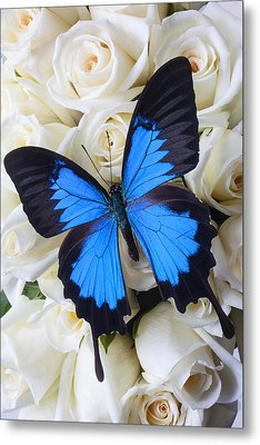 Blue Butterfly On White Roses Metal Print by Garry Gay