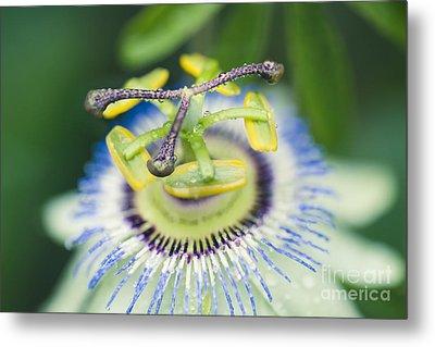Blue Crown Passiflora Caerulea Passion Flower Metal Print by Sharon Mau