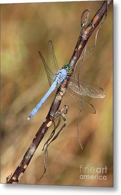 Blue Dragonfly Portrait Metal Print by Carol Groenen