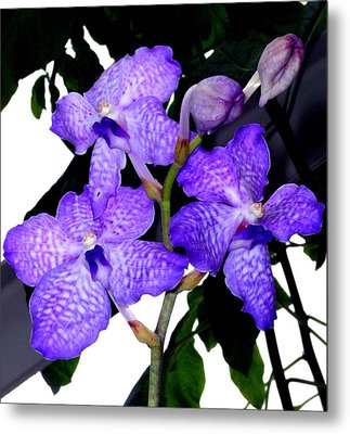 Blue Violet Orchids Metal Print by Mindy Newman
