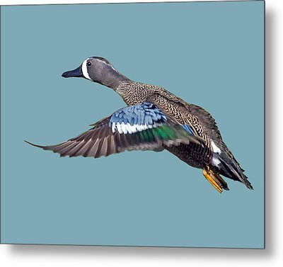 Blue-winged Teal Metal Print by Larry Linton