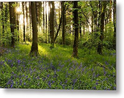 Bluebell Woods - Entwistle. Metal Print by Daniel Kay