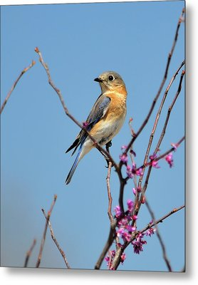 Bluebird In Spring Metal Print by Betty LaRue