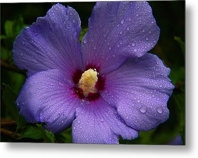Bluebird Rose Of Sharon Metal Print by Kathryn Meyer