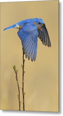 Bluebird Takes Flight Metal Print by William Jobes