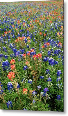 Bluebonnets And Paintbrushes 3 - Texas Metal Print by Brian Harig