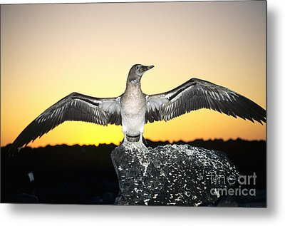 Booby At Sunset Metal Print by Dave Fleetham - Printscapes