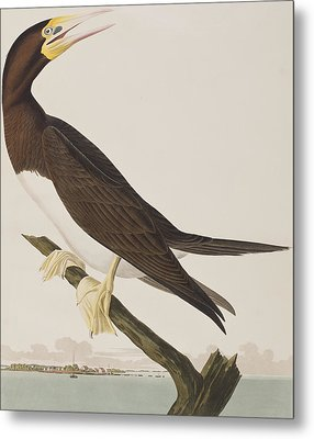 Booby Gannet   Metal Print by John James Audubon