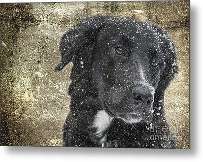 Border Collie Metal Print by Stephen Smith