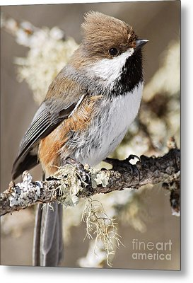 Boreal Chickadee Metal Print by Larry Ricker