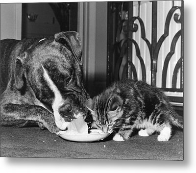 Boxer And Kitten Metal Print by Evening Standard