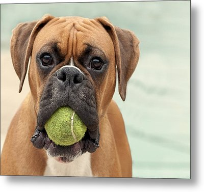Boxer Dog Metal Print by Jody Trappe Photography