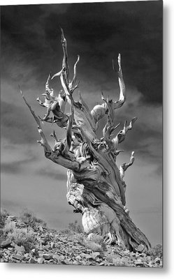 Bristlecone Pine - A Survival Expert Metal Print by Christine Till