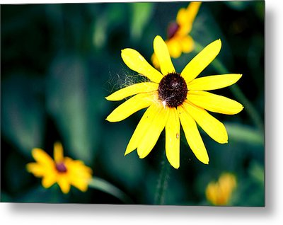 Brown Eyed Susan Metal Print by Jame Hayes