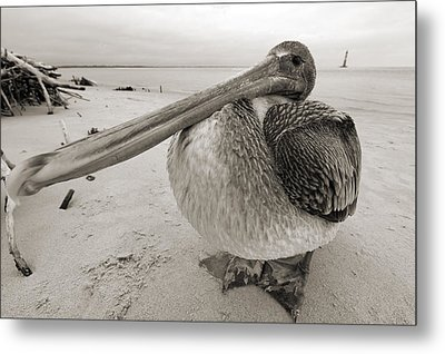 Brown Pelican Folly Beach Morris Island Lighthouse Close Up Metal Print by Dustin K Ryan