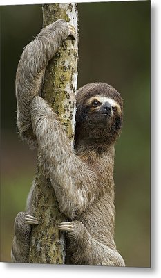 Brown-throated Three-toed Sloth Metal Print by Ingo Arndt