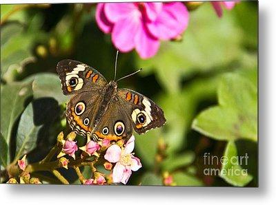 Buckeye Butterfly Metal Print by Kelly Holm