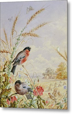 Bullfinches In A Harvest Field Metal Print by Harry Bright