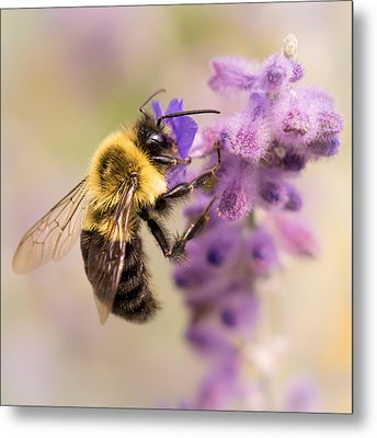 Bumble Bee On Russian Sage Metal Print by Jim Hughes