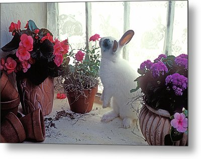 Bunny In Window Metal Print by Garry Gay
