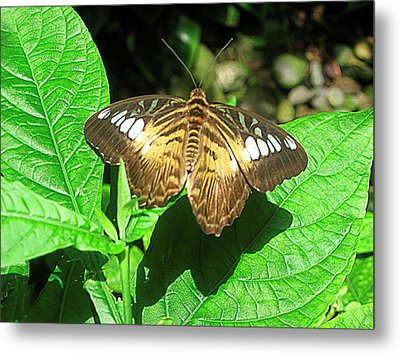 Butterfly Of Brown Wings On Green  Metal Print by Mario Perez