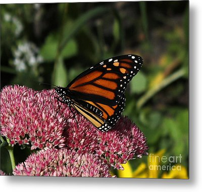 Butterfly On Sedum  Metal Print by Lori Tordsen