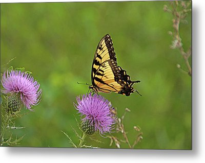 Butterfly On Thistle Metal Print by Sandy Keeton