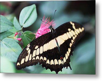Butterfly Vi Metal Print by David Yunker