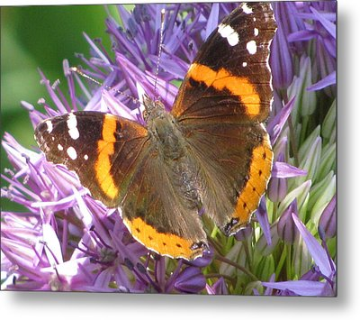 Butterfly With Allium Metal Print by Alfred Ng