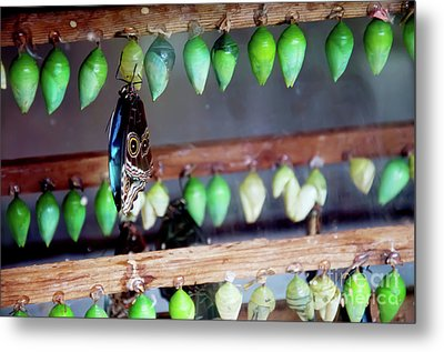 Butterfly With Butterfly Chrysalis 1 Metal Print by Andee Design