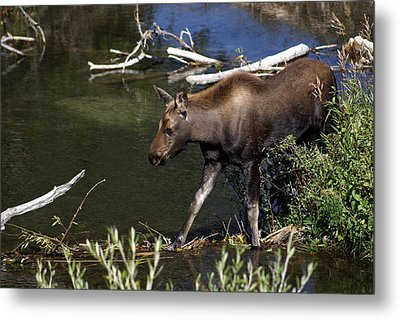 Calf Moose Metal Print by Marty Koch