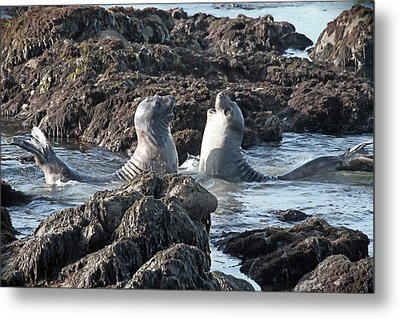California Happy Seals Metal Print by Donna Kennedy
